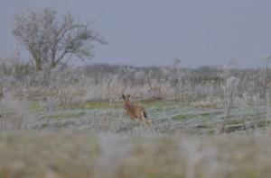 Snettisham hare